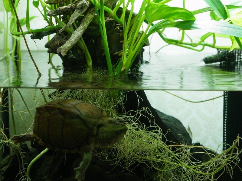 カブトニオイガメが水槽を泳ぐ様子