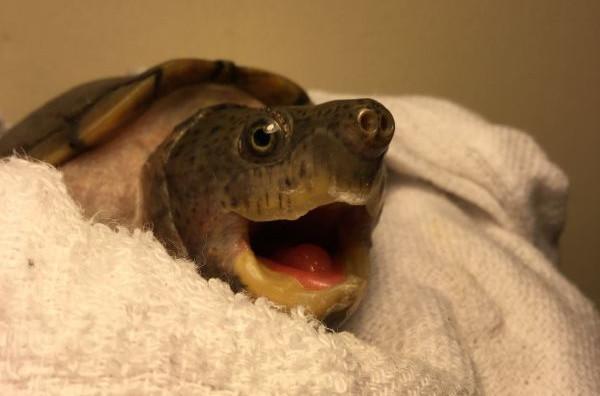 カブトニオイガメ噛みつきそうアップ