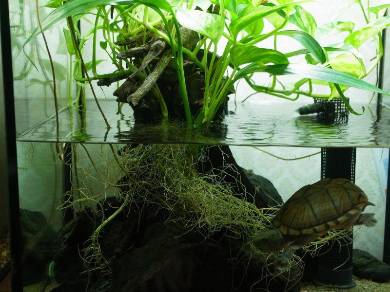 カブトニオイガメと水槽