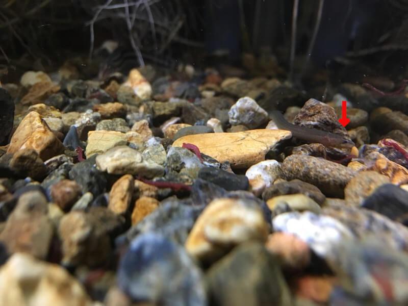 タウナギの幼魚