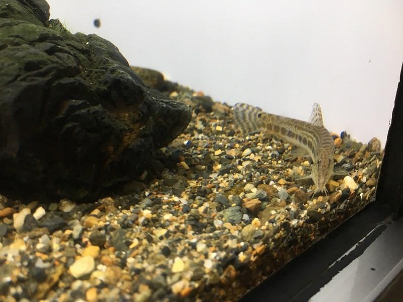 タンゴスジシマドジョウ京都水族館