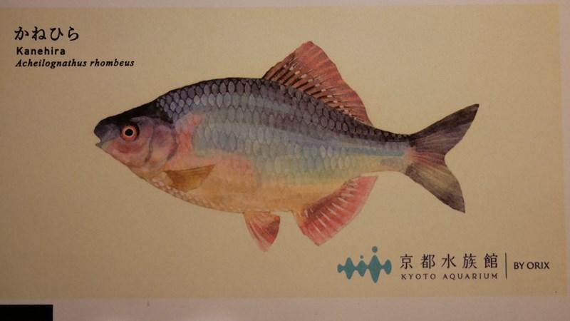 京都水族館チケットのイラストかねひら