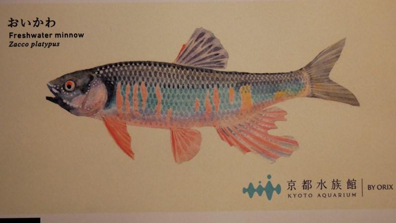 京都水族館チケットのイラストオイカワ