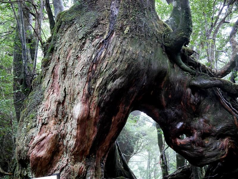 屋久島白谷雲水峡のくぐり杉