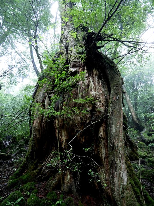 幽玄な雰囲気の屋久杉